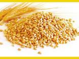 Pšenica - фото 1
