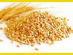 Pšenica - photo 1